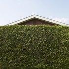 Malezas o arbustos de rápido crecimiento para obtener privacidad