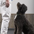What Is a Companion Dog Certification?