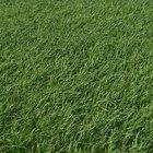 ¿Qué tipos de césped crecen en un suelo arenoso?