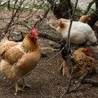 Como fazer ninhos para galinhas com caixas de leite