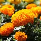 Nomes de flores laranjas e amarelas