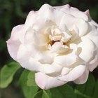 Cómo tratar las rosas enfermas sin productos químicos