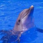 Diferencias entre el macho y la hembra delfines