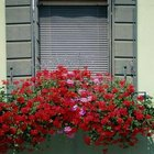 Geraniums give the window box a blast of color.