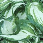 Are Hostas Poisonous to Cats?