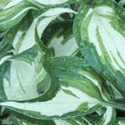 The white stripes on hosta leaves are often wide and irregular.