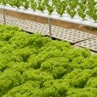 Las mejores semillas para cultivo hidropónico