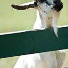 Como ajudar sua cabra se ela estiver com a barriga inchada