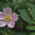 Species or wild roses are usually single, with only five petals.