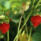 ¿Cuáles son las ventajas y las desventajas de las plantas de frambuesas?
