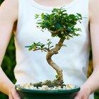 Cómo podar las raíces de un árbol bonsái antes de cortarlo