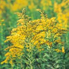 Tall weed with yellow gold blooms or flowers