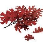 ¿Los árboles de roble mantienen sus hojas todo el año?