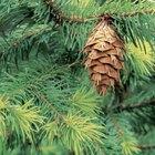 O que fazer se um pinheiro estiver amarelando