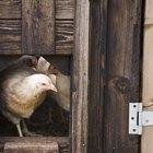 Como agir se uma galinha tiver parado de comer