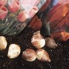 ¿Cómo hacer crecer tulipanes en agua?