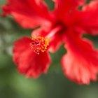 As flores de hibisco podem fazer mal a cães?