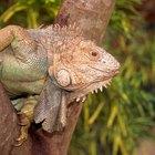 Los ciclos de vida de las iguanas