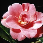 Camellias & Companion Plants