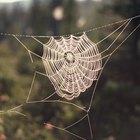 Cómo deshacerte de las arañas de patas largas