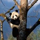 Quais são os inimigos naturais do panda gigante?