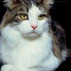 Taurine & Cardiomyopathy in Cats