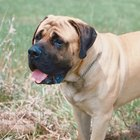 Excessive Drooling in English Mastiffs