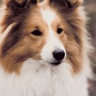 Seborrheic Skin Disorders in Shetland Sheepdogs