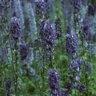 Common lavender blooms in blue, pink, purple or white, depending on the cultivar.