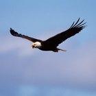 Como as águias aprendem a voar ?