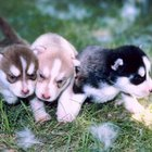 Eating Habits of Siberian Huskies