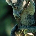 Los ocho niveles de clasificación de los osos koalas