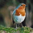 Lista de pájaros cantores pequeños