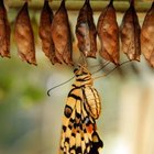 Most moth cocoons and butterfly chrysalis need to hang.