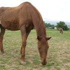 Como engordar um cavalo que está abaixo do peso de forma segura