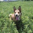 Pragas externas que podem deixar um cão doente