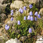 How to identify a plant with purple bell shaped flowers