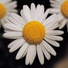 What Is Eating the Shasta Daisy Petals?