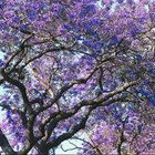 Jacaranda trees are spectacular deciduous ornamental trees.