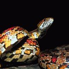 How to Find a Lost Baby Corn Snake