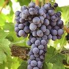Guía de los vinos Merlot