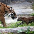 Cómo comprar tigres bebés