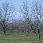 Hazlo tú mismo: cómo injertar un árbol de nogal