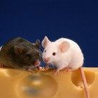 Como saber se um rato de estimação está doente