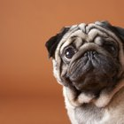 Pugs With Bad Skin Odors