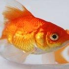 ¿Cuáles son los peces adecuados para un acuario de principiantes?
