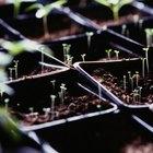 Cómo germinar semillas de tomate sin luz