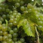 Por que as uvas apodrecem antes de amadurecerem?