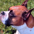 Should Boxer Dogs Eat From Raised Food Bowls?