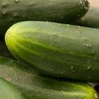 Como congelar pepinos e picles